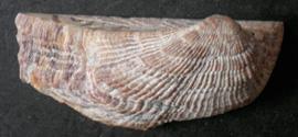Молюск жовтня серед екзотичних молюсків - Arca noae Linnaeus, 1758 (2017 р.)