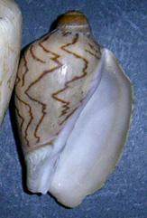 Aulicina nobilis
