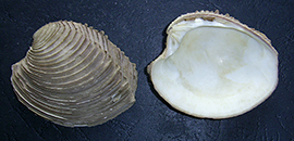 Circomphalus foliaceolamellosus