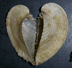Моллюск марта среди морских моллюсков - Corcullum cardissa (Linnaeus, 1758) (2018 г.)
