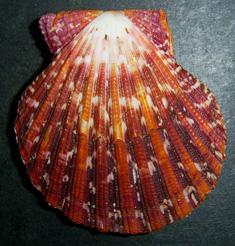 Молюск серпня серед екзотичних молюсків - Cryptopecten pallium (2016 р.)