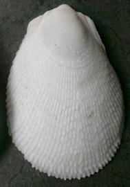 Ctenoides sp.