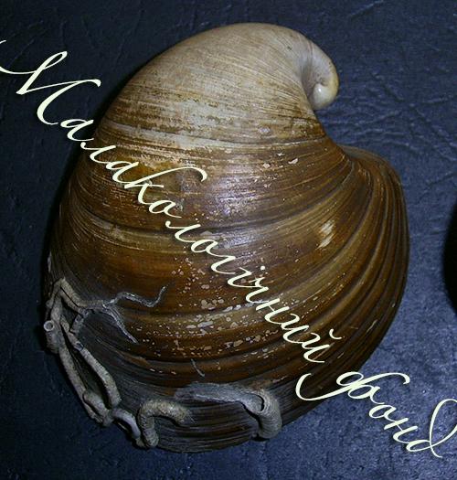 Glossus humanus. Фотографія 3