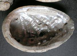 Молюск листопада серед екзотичних молюсків - Haliotis lamellosa (2018р.)
