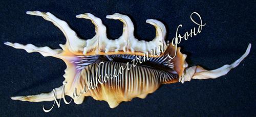 Lambis scorpio