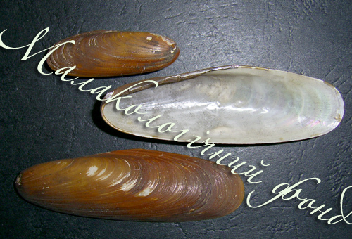 Lithophaga lithophaga. Фотографія 3
