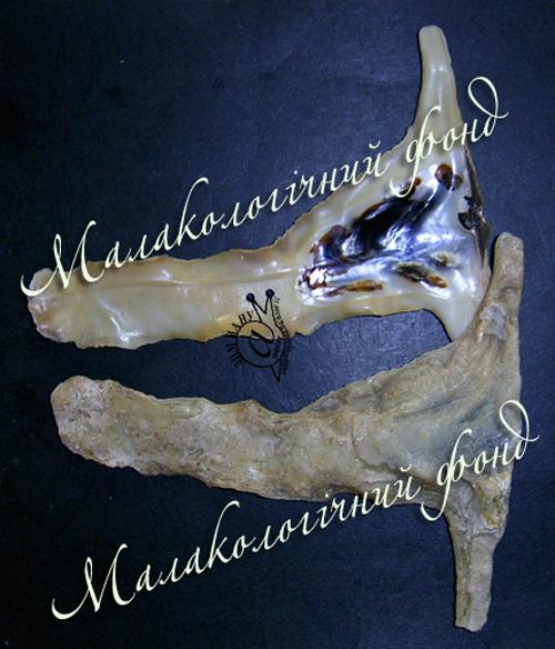 Malleus albus. Фотографія 1