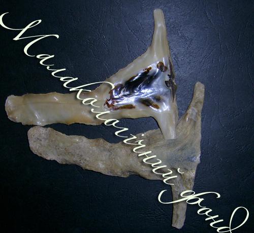 Malleus albus. Фотографія 2