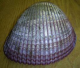Maoricardium pseudolima
