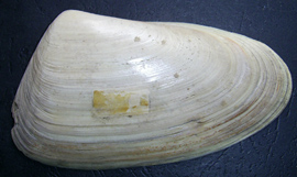 Mesodesma donacium
