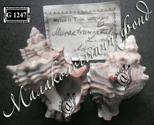 Murex trunculus