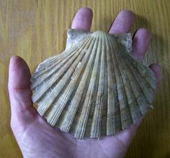 Моллюск сентября среди экзотических моллюсков - Pecten jacobaeus (2019р.)