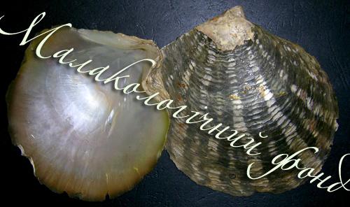 Pinctada margaritifera. Фотографія 2