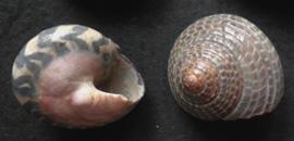 Моллюск января среди экзотических моллюсков - Umbonium sp. (2018 г.)