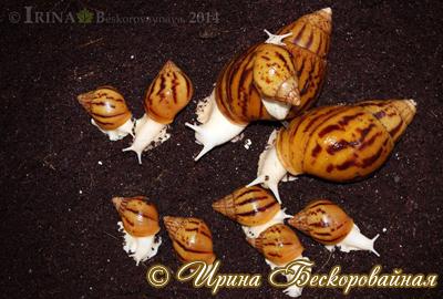 Achatina achatina Фото 14. Автор Ирина Бескоровайная