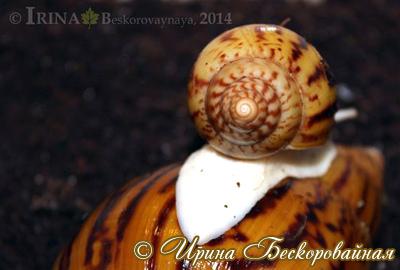 Achatina achatina Фото 15. Автор Ирина Бескоровайная