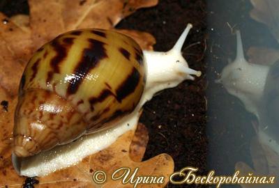 Achatina achatina Фото 21. Автор Ирина Бескоровайная
