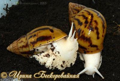 Achatina achatina Фото 25. Автор Ирина Бескоровайная