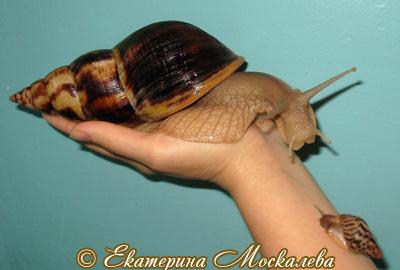Achatina albopicta. Фото 12
