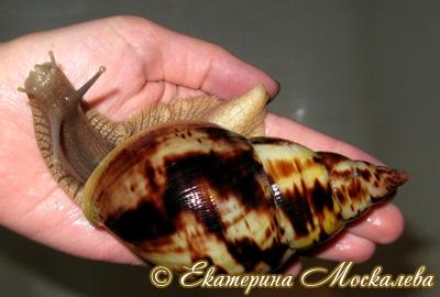 Achatina albopicta. Фото 17