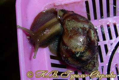Моллюск мая среди домашних экзотических моллюсков - Achatina fulica (2016 г.)