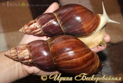 Achatina fulica (Фото 34)