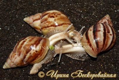 Achatina fulica (Фото 35)