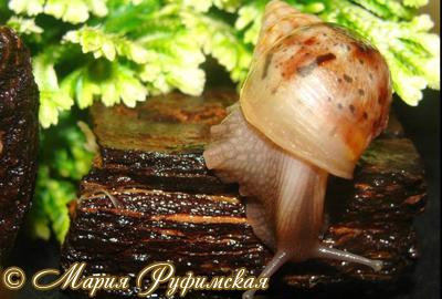 Achatina fulica (Фото 27)