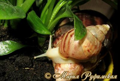 Achatina fulica (Фото 28)