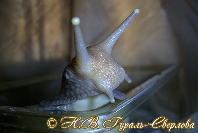 Achatina fulica (Фото 51)