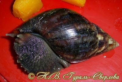 Achatina fulica (Фото 56)