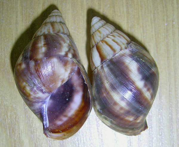 Раковина молодой улитки Achatina fulica