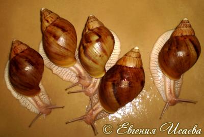 ахатина иммакулята - Achatina immaculata