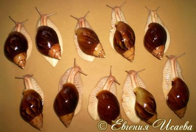 ахатина незапятнанная - A. immaculata