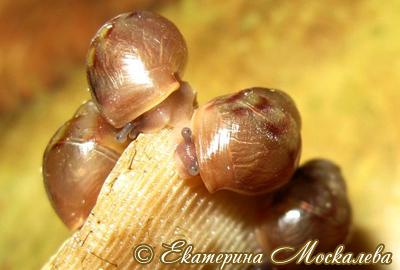 Achatina immaculata. Фото 21