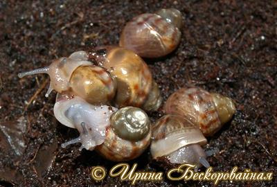 Achatina immaculata. Фото 27