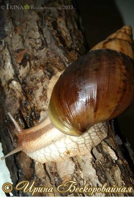 Achatina immaculata. Фото 30