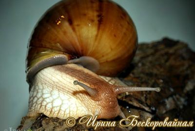 Achatina immaculata. Фото 32
