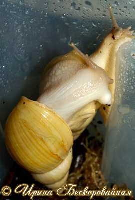 Achatina iredalei. Фото 11