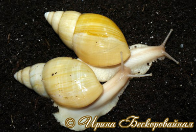 Achatina iredalei. Фото 14