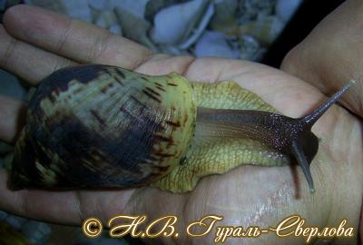 Achatina reticulata