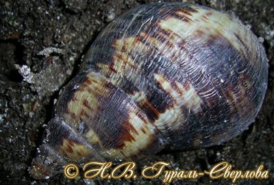 ахатина ретикулята - A. reticulata