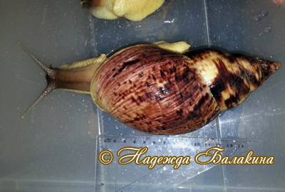 Achatina reticulata (Фото 21)