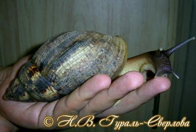 Achatina reticulata (Фото 26)