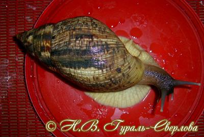 Achatina reticulata (Фото 27)