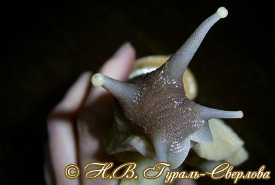 Achatina reticulata (Фото 35)