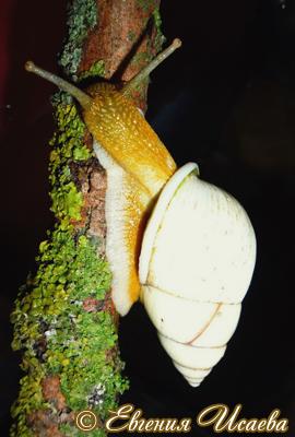 Амфидромус