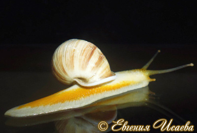 Amphidromus sp. (Фото 10)