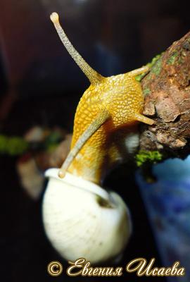 амфидромус - Amphidromus sp.