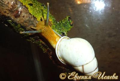 Amphidromus sp. (Фото 4)